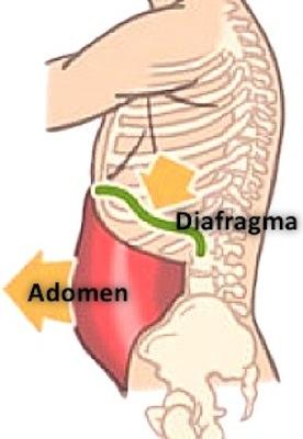 Teoría abdomino-frénica: relajación diafragmática y de la musculatura abdominal.
