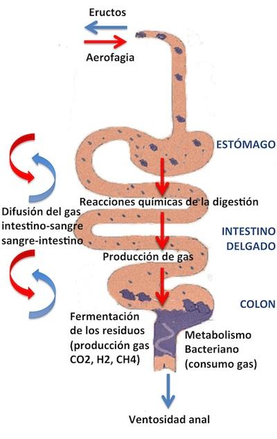 Fisiopatología del gas intestinal (como se forma y como se elimina)