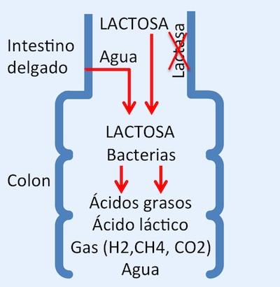 La intolerancia son los síntomas secundarios a la fermentación bacteriana en el colon, de la lactosa no absorbida